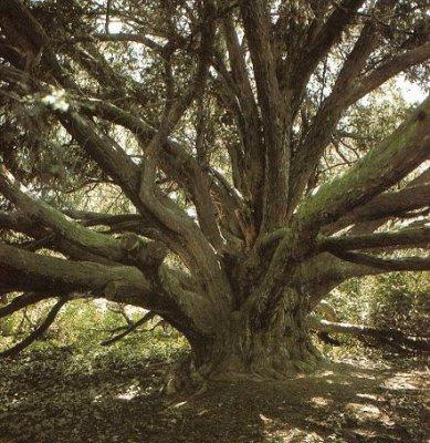 Taxus of venijnboom