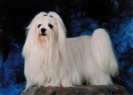 Hondenkeuring 4 Maltezer leeuwtje