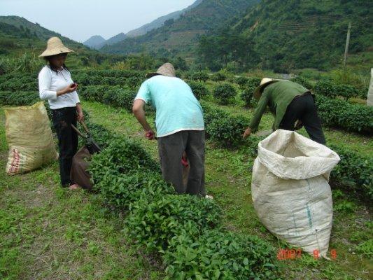 茶摘み男女