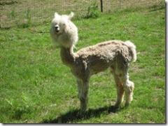 07-09-07 Alpacas shorn 020