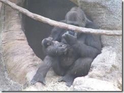 GorillaZooTrip 001
